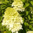 /Images/johnsonnursery/product-images/Hydrangea Limelight063011_ggu69p7ht.jpg
