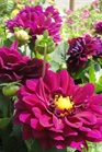 /Images/johnsonnursery/Products/Annuals/D__Dalina_Grande_Castillo_5-24-12_042.JPG