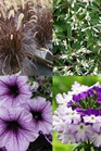 /Images/johnsonnursery/Products/Annuals/_3_Violet.jpg