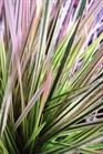 /Images/johnsonnursery/Products/Perennials/Deschampsia_Northern_Lights_-_PW.jpg