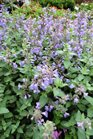 /Images/johnsonnursery/Products/Perennials/Nepeta_Cats_Meow.jpg