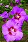 /Images/johnsonnursery/Products/Woodies/Hibiscus_Tahiti_-_1st_Editions.jpg