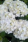 /Images/johnsonnursery/Products/Woodies/Hydrangea_Blushing_Bride.jpg