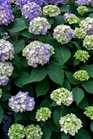 /Images/johnsonnursery/Products/Woodies/Hydrangea_Endless_BloomStruck.jpg