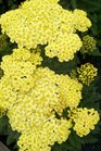 /Images/johnsonnursery/product-images/Achillea Sunny Seduction050912_2t0ix0b2u.jpg