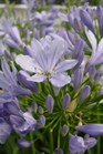 /Images/johnsonnursery/product-images/Agapanthus Improved Peter Pan_rw0bxljv7.jpg
