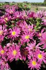 /Images/johnsonnursery/product-images/Aster Kicken Carmine Red091813_mfvhsibzt.jpg