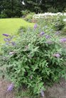 /Images/johnsonnursery/product-images/Buddleia Blue Chip070313_9inet5p12.jpg