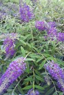 /Images/johnsonnursery/product-images/Buddleia Purple Haze092111_k3t492r4j.jpg