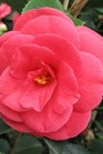 /Images/johnsonnursery/product-images/CAM Artic Rose - flickr_9gn8o6xap.jpg