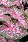 /Images/johnsonnursery/product-images/Caladium Carolyn Wharton2060216_wn52h08wt.jpg