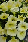 /Images/johnsonnursery/product-images/Calibrachoa Yellow Chiffon061412_ft4380jzm.jpg