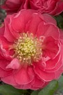/Images/johnsonnursery/product-images/Chaenomeles Double Take Pink_trz3xqlj0.jpg