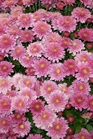 /Images/johnsonnursery/product-images/Chrysanthemum Amiko Violet_07xpaajaf.jpg