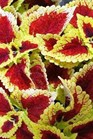 /Images/johnsonnursery/product-images/Coleus Glassworks Raspberry Tart_nirqzi8ex.JPG
