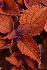 /Images/johnsonnursery/product-images/Coleus Mainstreet Wall Street_0tj0ss4xk.jpg