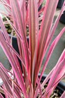 /Images/johnsonnursery/product-images/Cordyline Electric Pink2062816_usi2oeqjs.jpg