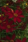 /Images/johnsonnursery/product-images/Coreopsis Sizzle Spice Hot Paprika_ttvsegqt5.jpg