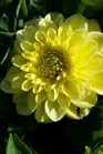 /Images/johnsonnursery/product-images/Dahlia Dalina Midi Corsica_c7jn071wc.jpg
