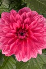 /Images/johnsonnursery/product-images/Dahlia Grande Mendoza_t1gb6zatp.jpg