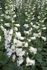 /Images/johnsonnursery/product-images/Digitalis Camalot White042512_tfd1vphw1.jpg