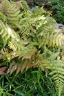 /Images/johnsonnursery/product-images/Dryopteris Brilliance052116_htqtz8l3x.jpg