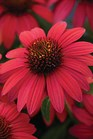 /Images/johnsonnursery/product-images/Echinacea Baja Burgundy_g45a7zlgh.jpg