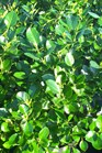 /Images/johnsonnursery/product-images/Euonymus Manhattan041801_m20p19l18.jpg