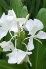 /Images/johnsonnursery/product-images/Hedychium_coronarium082300_l9dxhn2pz.jpg