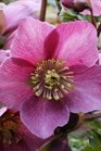 /Images/johnsonnursery/product-images/Helleborus Madame Lemonier_jmnxla00b.jpg