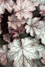 /Images/johnsonnursery/product-images/Heuchera Amethyst Myst051905_egunbstdo.jpg