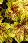 /Images/johnsonnursery/product-images/Heuchera Red Lightning TN_aoerqq6gx.jpg