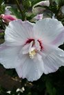 /Images/johnsonnursery/product-images/Hibiscus Fiji062716_v4g9rnxs6.jpg