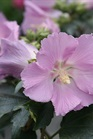 /Images/johnsonnursery/product-images/Hibiscus Pollypetite 2_tf2htw59g.jpg