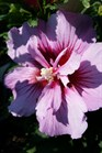 /Images/johnsonnursery/product-images/Hibiscus Purple Pillar072516_op01dp9ww.jpg