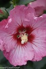 /Images/johnsonnursery/product-images/Hibiscus Ruffled Satin 3_clxhtpcxq.jpg