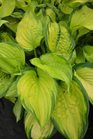 /Images/johnsonnursery/product-images/Hosta Stained Glass062813_0066d83cg.jpg
