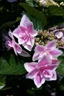 /Images/johnsonnursery/product-images/Hydrangea Double Delights Star Gazer060716_uqt6tf8u9.jpg