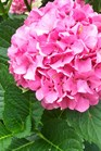 /Images/johnsonnursery/product-images/Hydrangea Goliath070700_ipzpqfbiq.jpg