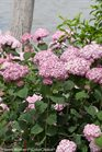 /Images/johnsonnursery/product-images/Hydrangea Incrediball Blush 2_nqx88s7at.jpg
