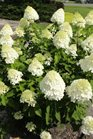 /Images/johnsonnursery/product-images/Hydrangea Little Lime5070813_miu1petuh.jpg