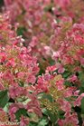 /Images/johnsonnursery/product-images/Hydrangea Little Quick Fire 3_631lot1s0.jpg