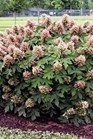 /Images/johnsonnursery/product-images/Hydrangea Munchkin - parkseed_80jncpuvb.jpg