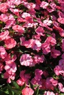 /Images/johnsonnursery/product-images/Impatien Sunpatien Spreading Shell Pink_1nw3zlqf0.jpg