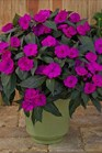 /Images/johnsonnursery/product-images/Impatiens SunPatiens Compact Purple_evkzt9f5q.jpg