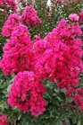 /Images/johnsonnursery/product-images/Lagerstroemia Pink Velour062816_s6hs8h7u4.jpg