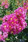 /Images/johnsonnursery/product-images/Lagerstroemia Purple Magic061416_6f8e8d0pt.jpg