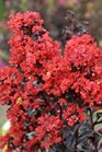 /Images/johnsonnursery/product-images/Lagerstroemia Sunset Magic_opvxuhjz9.jpg