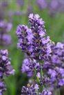 /Images/johnsonnursery/product-images/Lavandula_SuperBlue_Bloom_17291_d8ndg4iks.jpg