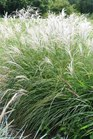 /Images/johnsonnursery/product-images/Miscanthus Little Kitten - ksuturf_158vv4eu1.jpg